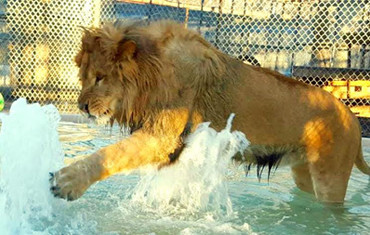 In-Sync Exotics helps with big cat rescue - The Garland